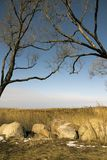 Trees without foliage have bent over boulders and a dry cane Royalty Free Stock Photos