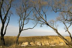 Trees without foliage have bent over boulders and a dry cane Stock Photography