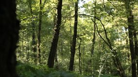 Trees in forest. Landscape of trees in forest setting stock video