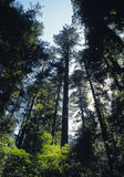 Trees in forest. Tall grown trees in California forest Stock Image