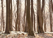 Trees in forest Royalty Free Stock Photos