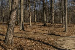 Trees in a forest in afternoon. A copse of trees in a forest in late afternoon Stock Image