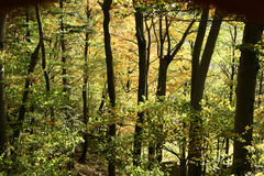 Trees and forest autumn Royalty Free Stock Image