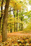 Trees in a forest in autumn Royalty Free Stock Images