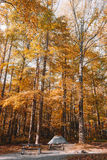 Trees in Forest during Autumn Royalty Free Stock Images