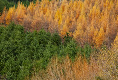 Trees in the forest. In autumn Royalty Free Stock Photography