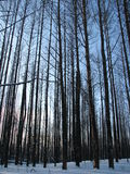 The trees in the forest Royalty Free Stock Photography