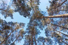Trees in the forest from bottom Royalty Free Stock Photo