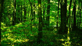 Trees in forest with bright afternoon sun , pan stock footage
