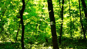Trees in forest with bright afternoon sun, pan stock video footage