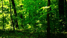 Trees in forest with bright afternoon sun stock footage