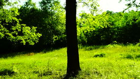 Trees in forest with bright afternoon sun and rays. Trees in forest with bright afternoon sun stock video