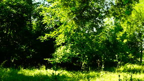 Trees in forest with bright afternoon sun and rays , pan stock footage