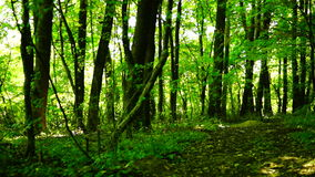 Trees in forest with bright afternoon sun and rays , pan. Trees in forest with bright afternoon sun and rays stock video footage