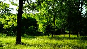 Trees in forest with bright afternoon sun and rays , pan stock video footage