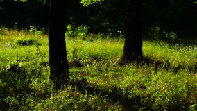 Trees in forest with bright afternoon sun and rays and sound. stock video footage