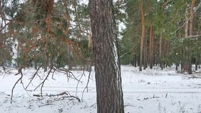Trees forest christmas tree, nature snow frost cold landscape the winter stock video