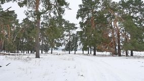 Trees forest christmas tree, nature snow frost cold the winter landscape stock video