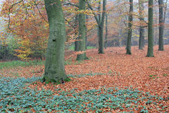 Trees in forest with colored leaves in autumn. View at trees in a forest with yellow, brown and red colored leaves in autumn. Netherlands stock photos