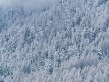 Trees of a forest  covered with snow and ice Stock Images
