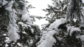 Trees In Forest Covered With Winter Snow. Trees In Forest Covered With Winter stock video footage