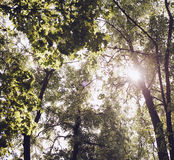 Trees in the forest - the crown of leaves against the sky Royalty Free Stock Photography