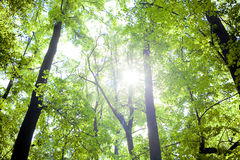Trees in the forest - the crown of leaves against the sky Royalty Free Stock Photo