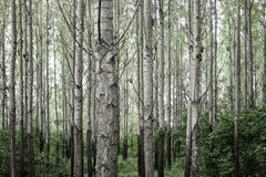 Trees in forest. Dark green trees in forest Royalty Free Stock Photography