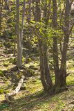 Trees in forest early spring Royalty Free Stock Image