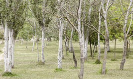 Trees in a forest Stock Photography