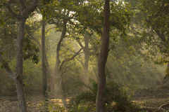 Trees , Forest and Divine Sun Rays royalty free stock photo