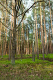 Trees in a forest Stock Images