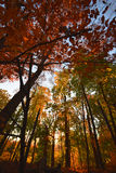 Trees and forest in early yellow sunlight, in fall.  NJ New Jersey. Royalty Free Stock Image