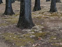Trees and Forest Floor Royalty Free Stock Photography