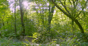 Trees forest flycam motion stock footage