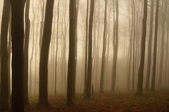Trees of forest in the fog Stock Photo