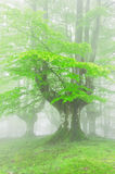 Trees in forest with fog on spring Royalty Free Stock Images
