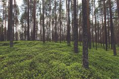 Trees in Forest with Green Groundcover Royalty Free Stock Images