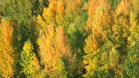 Trees in the forest. Green and yellow leaves on trees stock video