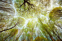 Trees in the forest - leaves against the sky Royalty Free Stock Photo