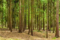 Trees in the forest Royalty Free Stock Photos