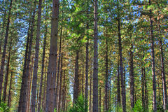 Trees in the Forest Royalty Free Stock Photography