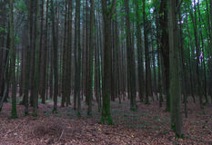 Trees in Forest. Minimum hdr used - fog Royalty Free Stock Photography