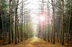 Trees in a forest during sunrise Royalty Free Stock Photos