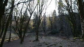 Trees in the forest, mountain Abkhazia. Landscape forest in Abkhazia with the Caucasian ridge stock video