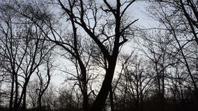 Trees in the forest, moving up into the sky. The Trees in the forest, moving up into the sky stock video footage