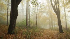 Trees in the forest with nature sounds. Trees in the fogy forest autumn with nature sounds stock video