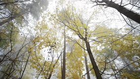 Trees in the forest with nature sounds. Trees in the fogy forest autumn with nature sounds stock footage