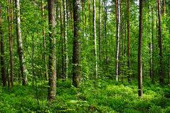 Trees in forest royalty free stock image