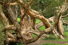 Trees and forest at Nuwara Eliya in Sri Lanka. The Trees and forest at Nuwara Eliya in Sri Lanka Royalty Free Stock Image